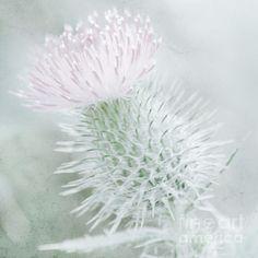 Pink and Sage Scottish Thistle by Aeve Pomeroy #nature #botanical #fineart #photographyprint #photography #pinkflowers #scottishthistle #dreamy #ethereal #fantasy #digitalphotograpyart #photoshop #bokeh http://aevepomeroy.com.au/photography