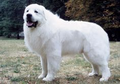 The Great Pyrenees is suited to many types of homes because the breed is so gentle and affectionate. Learn all about Great Pyrenees breeders, adoption health, grooming, training, and more.