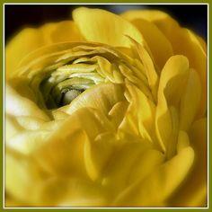 Pétalos apiñados, en una explosión de amarillo...preciosa...