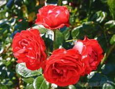 Посадка роз осенью – пошаговая инструкция для новичков