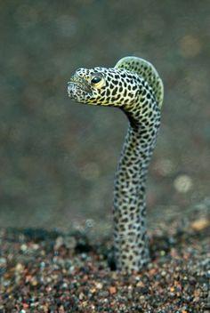 """Ya que tienden a vivir en grupos, las cabezas de las anguilas """"creciendo"""" se asemejan a plantas en un jardín"""