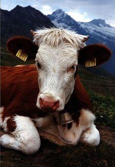 La simmental est une race bovine suisse.
