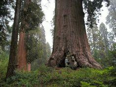 A big tree at Balch Park, Tulare County, CA. DSMc.