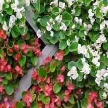 Begonia Semperflorens Cultorum Group