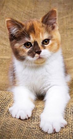 Kittens And Puppies, Cute Cats And Kittens, Cool Cats, Kittens Cutest, I Love Cats, Cute Baby Cats, Cute Baby Animals, Animals And Pets, Pretty Cats