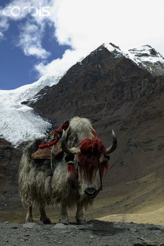 Tibetan Yak: Yaks are cool. They look like Appa. Farm Animals, Animals And Pets, Cute Animals, Beautiful Creatures, Animals Beautiful, Animals With Horns, Monte Everest, Himalaya, Tibetan Buddhism