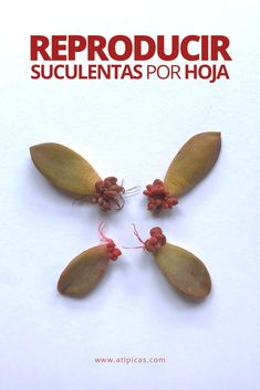 Cómo reproducir suculentas por hoja How to reproduce succulents per leaf. How to propagate succulent Propagating Succulents, Cacti And Succulents, Succulent Care, Hens And Chicks, Cactus Y Suculentas, Green Day, Houseplants, Leaves, Zero Waste