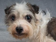 Petango.com – Meet Erin, a 4 years 1 month Terrier / Mix available for adoption in COLORADO SPRINGS, CO
