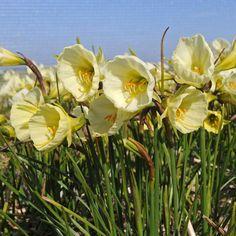 Narcissus bulbocodium Mary Poppins