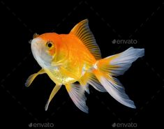 Buy gold fish on black background by sommai on PhotoDune. gold fish on black background Creative Infographic, Photoshop Effects, Free Graphics, Fish Art, Jewel Tones, Adorable Animals, Card Templates, Black Backgrounds, Underwater