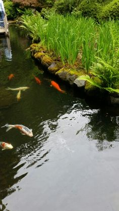 Gardens that i love on pinterest portland oregon roses for Japanese garden fish