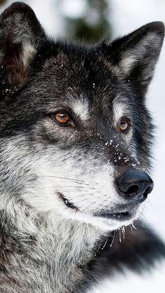 The wolf...keen, sensitive, intelligent beyond our imagination.