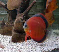 Big Aquarium, Discus Aquarium, Saltwater Aquarium Fish, Discus Fish, Freshwater Aquarium Fish, Aquariums, Rare Fish, Exotic Fish, Acara Disco