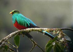 https://flic.kr/p/57ggvi | Pharomachrus auriceps | Golden-headed Quetzal. Satipo road, Junin, Peru