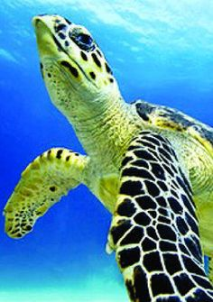 Hawksbill Sea Turtles. Considered by many to be the most beautiful of sea turtles for their colorful shells, the hawksbill is found in tropical waters around the world