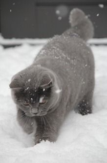 gray cat in the snow ~ Beautiful!