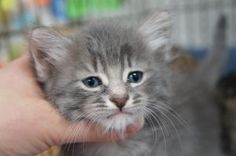 Zephyr is an adoptable Maine Coon Cat in Los Alamitos, CA. Zephyr is a male fluffy blue tabby kitten born around 4/25/13.   He will be available for adoption end of June and we are accepting applicati...