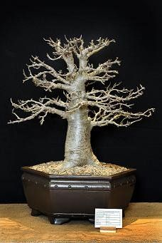 A very nice Baobab bonsai: Another: A 42 year old Baobab bonsai grown by Johan and Berrie Ras from Warmbad, RSA. ...