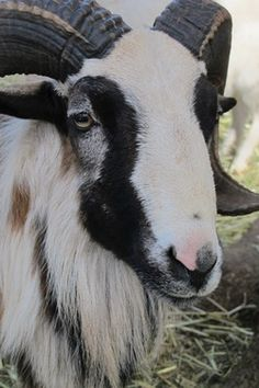 The Painted Desert Sheep Society defines Painted Desert Sheep as originating on Texas Game ranches by crossing Mouflon, Rambouillet, Merino, Texas Dahl, and Texas Blackbelly. Painted Desert, Sheep Breeds, Llama Alpaca, Colorful Animals, Camels, Farm Yard, Deer Hunting, Flocking, Farm Life