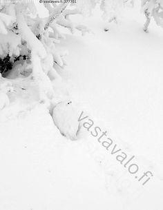 Kaunispään Riekko lumikuopassaan - riekko Lagopus lagopus metsäkana kanalintu… Natural Beauty, Nature, Outdoor, Outdoors, Naturaleza, Outdoor Games, Nature Illustration, The Great Outdoors, Off Grid