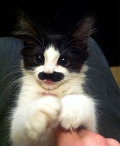 I can't believe this kitten looks like this!  I wold have to kiss it every second of every day!!!