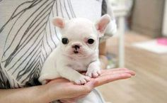 Teacup French Bulldog For Sale | Tiny Teacup French Bulldog Puppies for Sale (South Africa)