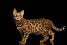 bengal cat isolated on black background