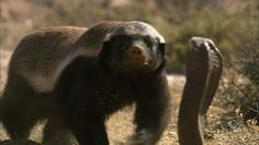 Honey Badger ~ Badger Tattoo, Honey Badger, Brown Bear, Animal Pictures, Cool Photos, Wildlife, African, Boss Quotes, Animal Kingdom