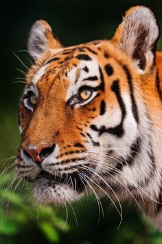 ☀Portrait of a beautiful tigress (by Tambako the Jaguar)