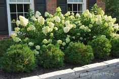 Limelight Hydrangeas & boxwood - under the front windows