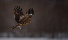 #Kite - I named this Image (Forest flight in the snow) - copyrighted - bruna@thrumyafricanlens.co.za