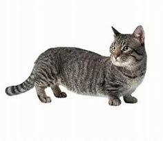 The Dashund of Cats!  :-)  The munchkin is a relatively new breed created by a mutation that causes achondroplasia, or possibly hypochondroplasia, resulting in cats with abnormally short legs.