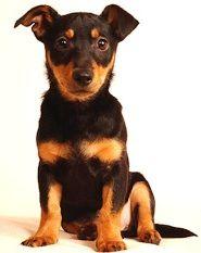 lancashire heeler dog photo | Lancashire Heeler profile on dog encyclopedia