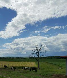 Grazing cattle.