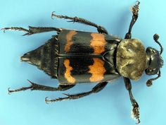 Burying Beetles Are Part of Nature's Clean-up Crew – Entomology Today