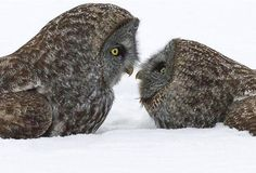 Great Grey Owl courtship display by Christopher Dodds