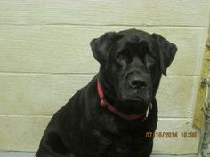 Whiteville, North Carolina 28472~ KENNEL 40 MALE LAB. Great with other dogs - came in with the boy in K18!