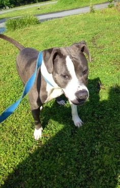 Yanah is an adoptable Pit Bull Terrier Dog in Savannah, GA Bulldog Mix, Female, 1 year old. House and crate trained. Seems to do well with other dogs. Wou ... ...Read more about me on @petfinder.com