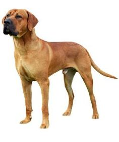 Tosa / #Japanese #Mastiff! I never knew there was a Japanese Mastiff