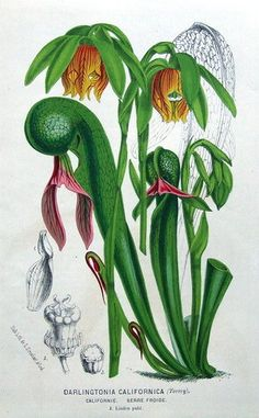 DARLINGTONIA CALIFORNICA,CARNIVOROUS  COBRA LILY, Antique Botanical Print c1870