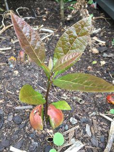 Avocado seed to avocado tree!