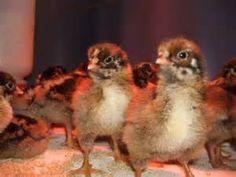 Barnevelder Chickens - Search