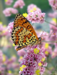 Spotted Fritillary Melitaea didyma on a Limoinium sinensis hybrid… Flying Flowers, Butterflies Flying, Beautiful Butterflies, Paper Butterflies, Butterfly Pictures, Butterfly Kisses, Chenille, Beautiful Creatures, Science Nature