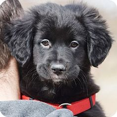 Meet Jordan, an adopted Flat-Coated Retriever & Border Collie Mix Dog, from Animal House Shelter in Huntley, IL on Petfinder. Learn more about Jordan today. Huntley Illinois, Flat Coated Retriever, Border Collie Mix, Dog Photography, Reptiles, Pet Adoption, Labrador Retriever, Puppies, Dogs