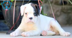 Lilly | Boxer Puppy For Sale | Keystone Puppies