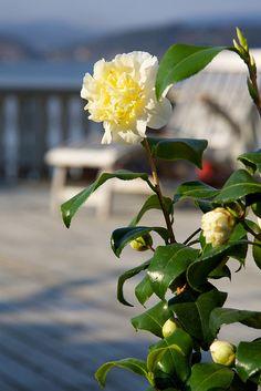 ΚΑΜΕΛΙΑ (Kamelia japonica) Φυτό που ανήκει στην οικογένεια των οξύφιλων φυτών. Φτάνει σε ύψος τα 2-4 m. Έχει εντυπωσιακό σκληρό γυαλιστερό φύλλωμα με πριονωτό περιθώριο ελάσματος, σχήμα ορθόκλαδο και αργή ανάπτυξη. Ανθίζει από Φεβρουάριο έως τέλη Απριλίου. Προτιμά θέσεις σκιερές ή ημισκιερές και απάνεμες. Καλλωπιστικοί θάμνοι - Φυταγορά Σερρών