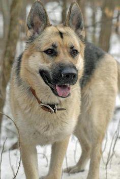 Siberian Husky German Shepherd Mix | Sasha the German Shepherd Mix | Dogs | Daily Puppy