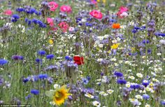 Wildflower fields at Barcroft Hall - created by Brian and Denise Herrick in what was a rubbish-strewn bit of abandoned land in Somerset. They grow more than 50 types of native flowers. Bees!