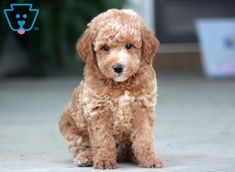 This attractive Mini Poodle Mix puppy will make a great addition to any family. He is a real bundle of joy and will be a nice family pet. Baby Animals, Funny Animals, Cute Animals, Cute Dogs Breeds, Dog Breeds, Poodle Mix Puppies, Puppy Stages, Loyal Dogs, Puppies For Sale
