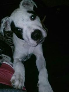 Lost and Found Pets of Lubbock, TX on Pinterest | Pitbull ...